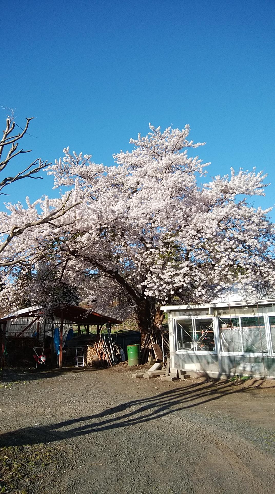 【八戸】岩手の桜 外壁塗装|屋根塗装|塗装業者|塗装屋|塗装会社